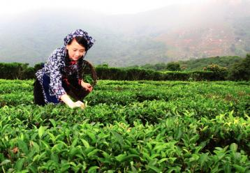 永春佛手茶叶种植技术|茶树种植