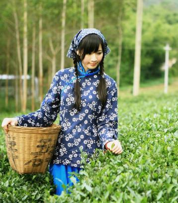 茶叶种植中茶树嫁接技术|茶叶栽培
