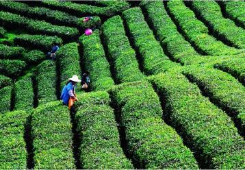 中国茶叶种植行业现状分析|茶叶种植前景