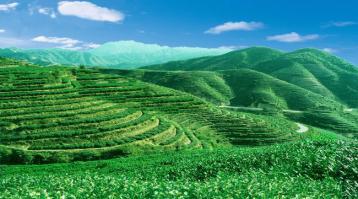 农业部发布2015年中国茶叶种植生产情况
