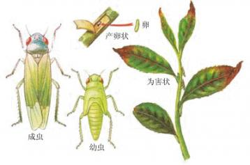 茶小绿叶蝉 茶叶病虫害及防治