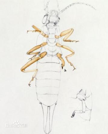 假眼小绿叶蝉的特征及防治方法|茶叶病虫害
