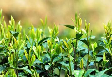 茶树病虫害物理防治方案