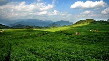 通过茶园管理措施预防和控制茶树病虫害