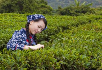 茶叶采摘时的注意事项及采后之处理