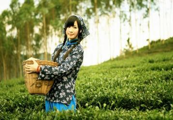 茶叶的采摘技术及标准|茶叶采摘