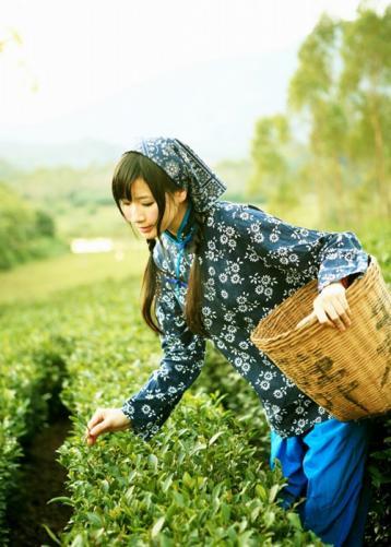 茶叶手工采摘方法|茶叶采摘技术