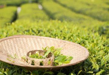 茶叶机械采摘方法 茶叶采摘