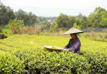 茶叶采摘管理|茶叶采摘标准