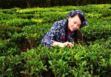茶叶最佳采摘时间 茶叶什么时候采摘最好