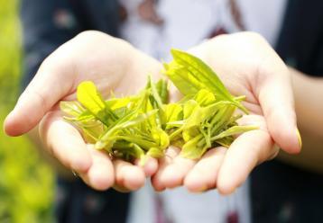 茶叶采摘机械化 工效提高数十倍