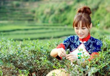 西湖龙井茶采摘时间|茶叶采摘