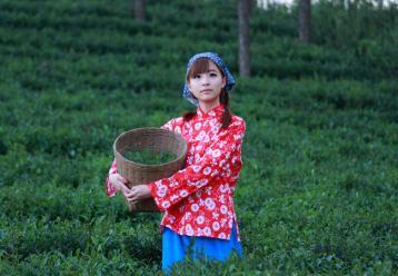 安溪铁观音的采摘季节|茶叶采摘