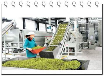 茶叶加工人员素质要求|茶叶加工技术