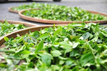 茶叶烘焙技术的探讨|茶叶烘焙
