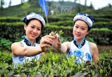 制茶工艺中的杀青的作用是什么|茶叶杀青作用