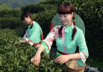 绿茶制作工艺中杀青的实质是什么?|绿茶杀青