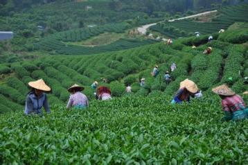 乌龙茶炒青工艺|乌龙茶杀青技术