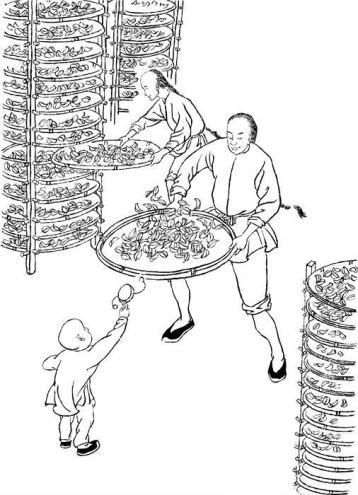 武夷岩茶发酵工艺:做青和杀青