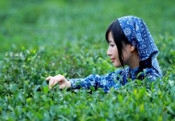 茶叶发酵与发酵程度之意义