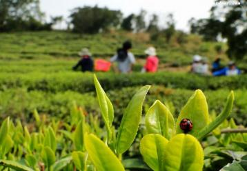福建福清引种铁观音成功|南湖山茶业