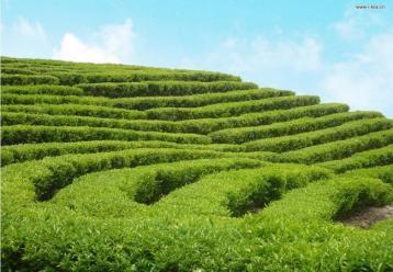 宁德获批国家级出口茶叶及质量安全示范区