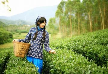 呼和浩特市春茶价格上涨 高端茶销售遇冷|春茶价格