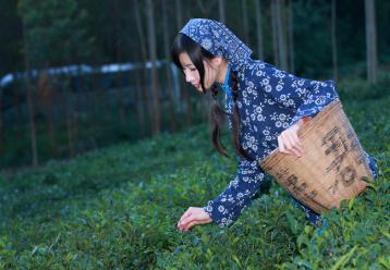 国内茶叶价格下降 自主品牌茶企逐渐走热国际市场