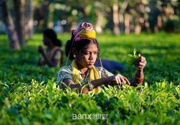 印度公平贸易茶叶首次进入上海市场|茶叶价格