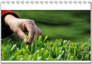 茶叶中的主要成分及其作用|茶叶成分