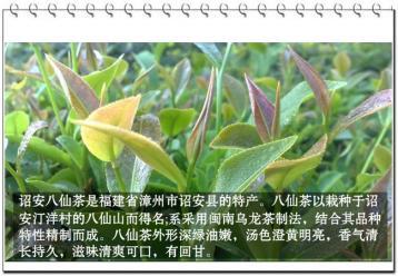 诏安八仙茶|福建乌龙茶
