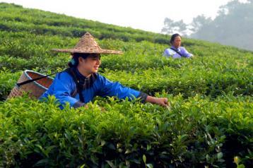 广西历史名茶修仁茶发展研究|广西名茶