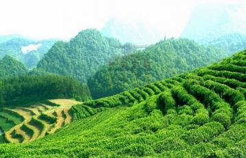 绿剑茶|浙江十大名茶