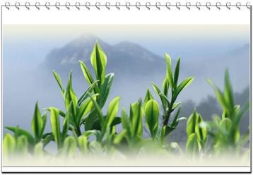 霍山黄芽|安徽十大名茶