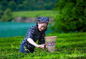 广东名茶:鸿雁金萱乌龙茶