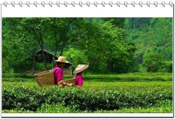 广西名茶:凌云白毫茶
