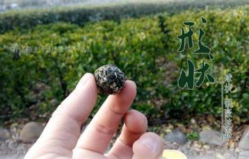 雷公山银球茶|贵州十大名茶