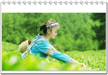 贵州十大名茶:贵定云雾贡茶