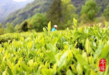 仙人掌茶.绿茶|湖北十大名茶