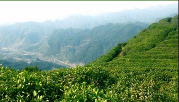 南岳云雾茶|湖南名茶