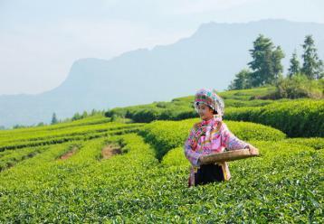 台湾十大名茶|台湾名茶介绍