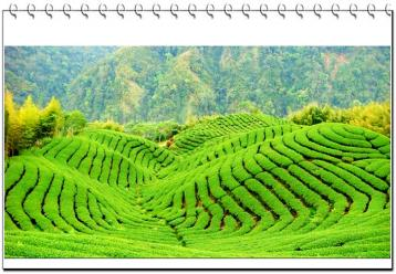 龙泉茶.龙潭包种茶|台湾名茶