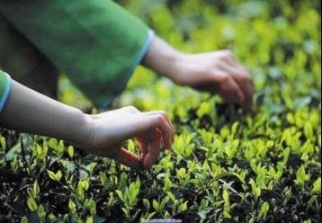 霍山黄芽|黄茶种类