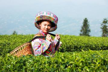 蒙顶黄芽|黄茶的种类