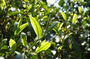 勐宋,竹筒茶的故乡|普洱竹筒茶