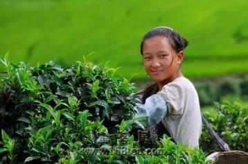 金瓜贡茶原料考究