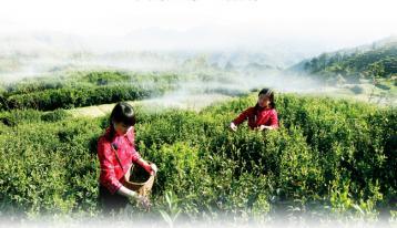 滇红:世界茶树原生地孕育的一朵奇葩|滇红文化