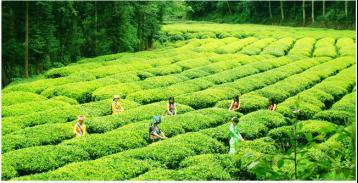 滇红茶的诞生及发展简史|滇红茶历史