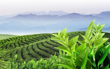 中国茶的历史|中国茶史