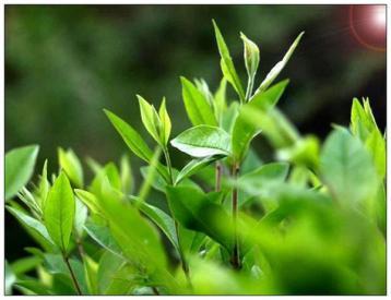 条形茶叶加工机械的作业质量指标与评价